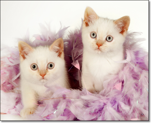 A photograph of Kittens with a feather boa          : Two British Shorthair kittens