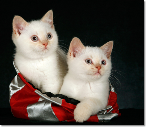 A photograph of Two kittens in a bag