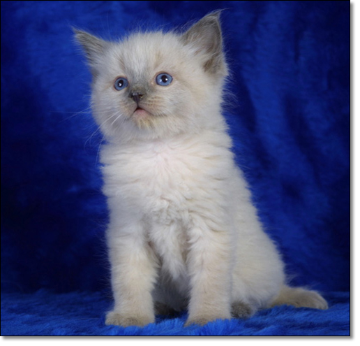 A photograph of A ragdoll kitten
