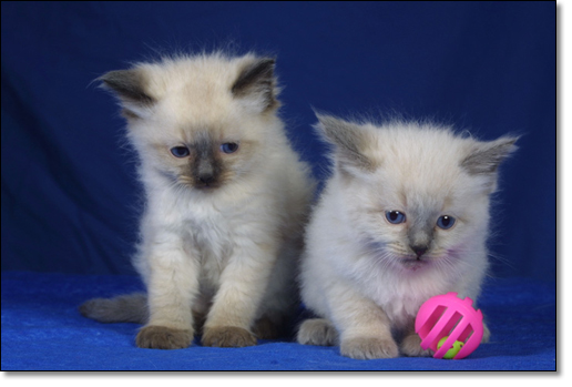 A photograph of Two suspicious ragdoll kittens
