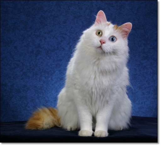 3f8e9ab533e028 breeder alex mike wake turkish van cat club outlet online 9c2e4 ...