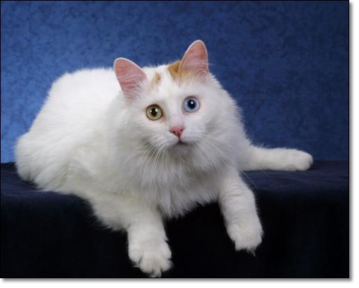 4b7467fb69621d Breed  Turkish Van Breeder  Alex   Mike Wake (Turkish Van Cat Club).  Similar subjects