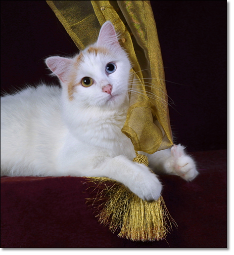 A photograph of A golden lady          : Shadycombe Lucky Lady          : Turkish Van, odd eyes