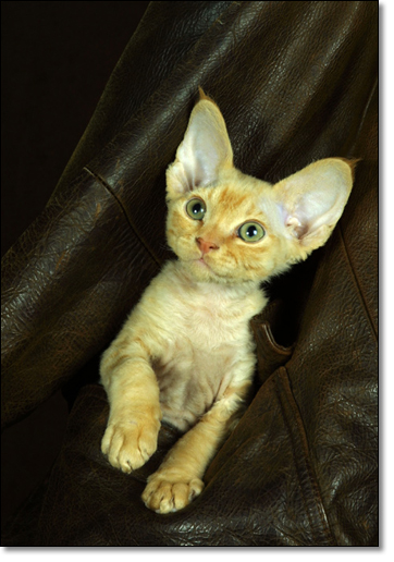 A photograph of A Pocket Rex