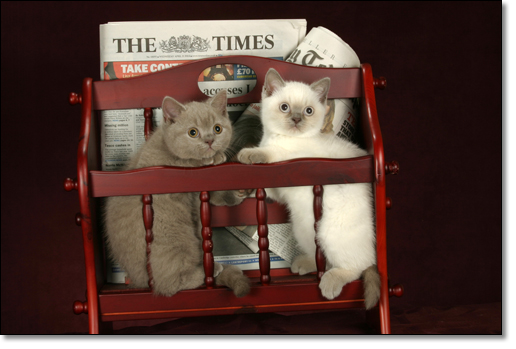 A photograph of Very British kittens