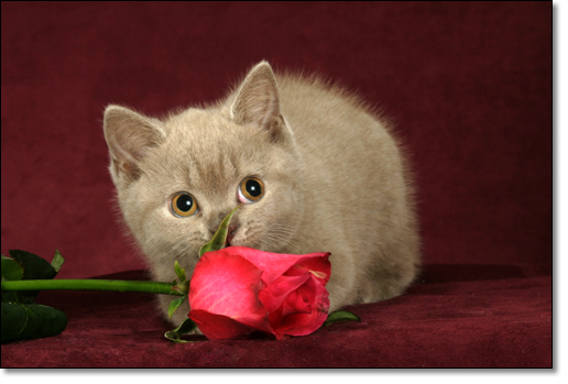 A photograph of Kittens and Roses